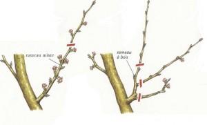 xopark000Abricotier---Prunus-armeniaca