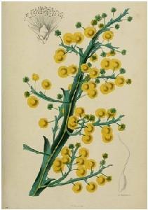 xopark000Acacia-alata---mimosa