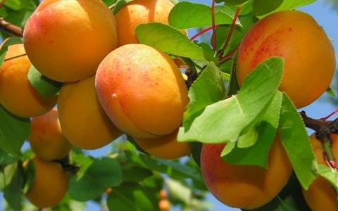 xopark1Abricotier—Prunus-armeniaca