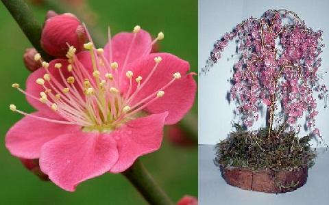 xopark1Abricotier-du-japon—Prunus-mume