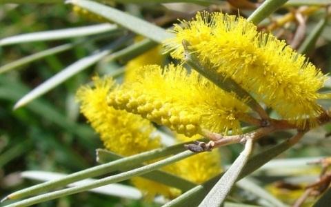 xopark1acacia-aneura-mulga