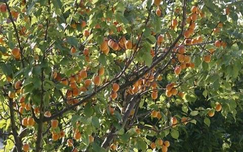 xopark3Abricotier—Prunus-armeniaca