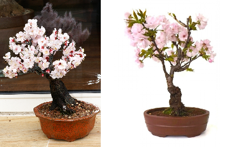 xopark3Abricotier-du-japon—Prunus-mume