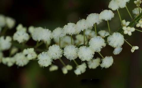 xopark3Acacia-alata—mimosa