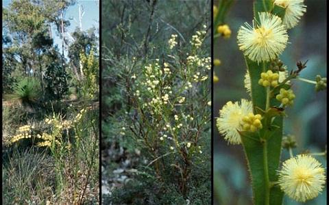 xopark4Acacia-alata—mimosa