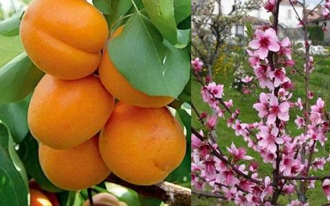 xopark5Abricotier—Prunus-armeniaca