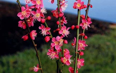 xopark5Abricotier-du-japon—Prunus-mume