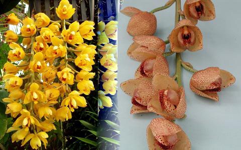 Orchid «acineta barkeri»