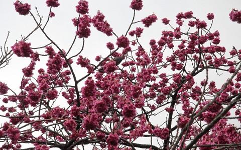xopark6Abricotier-du-japon—Prunus-mume