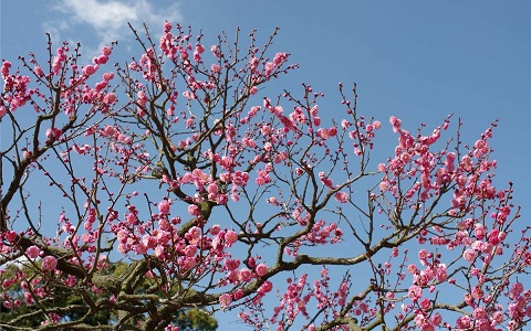 xopark7Abricotier—Prunus-armeniaca