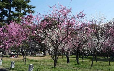 xopark7Abricotier-du-japon—Prunus-mume