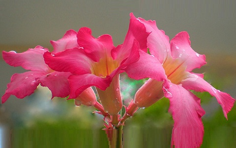 xopark8Acacia-rose