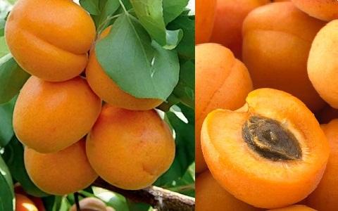 xopark9Abricotier—Prunus-armeniaca