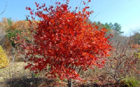 xopark9Abricotier-du-japon—Prunus-mume