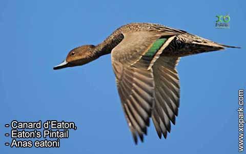 Canard d'Eaton – Anas eatoni – Eaton's Pintail – xopark1
