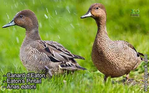 Canard d'Eaton – Anas eatoni – Eaton's Pintail – xopark2