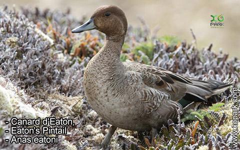 Canard d'Eaton – Anas eatoni – Eaton's Pintail – xopark3