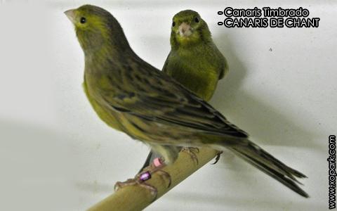 Canaris Timbrado – CANARIS DE CHANT – xopark1
