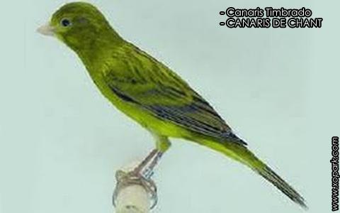 Canaris Timbrado – CANARIS DE CHANT – xopark2