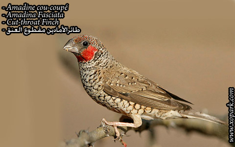 Amadine cou-coupé – Amadina Fasciata – Cut-throat Finch – xopark01