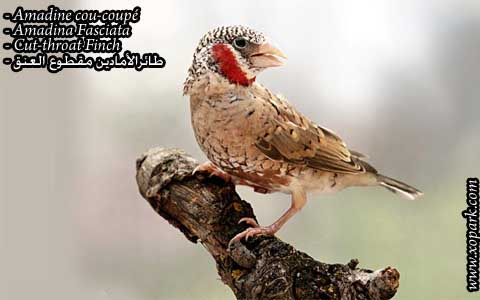 Amadine cou-coupé – Amadina Fasciata – Cut-throat Finch – xopark03