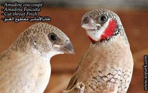 Amadine cou-coupé - Amadina Fasciata - Cut-throat Finch