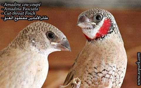 Amadine cou-coupé – Amadina Fasciata – Cut-throat Finch – xopark04