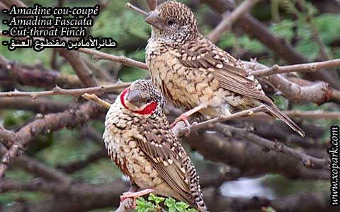 Amadine cou-coupé – Amadina Fasciata – Cut-throat Finch – xopark05