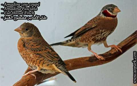 Amadine cou-coupé – Amadina Fasciata – Cut-throat Finch – xopark06