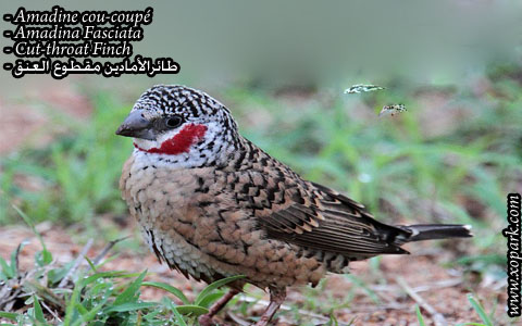 Amadine cou-coupé – Amadina Fasciata – Cut-throat Finch – xopark07