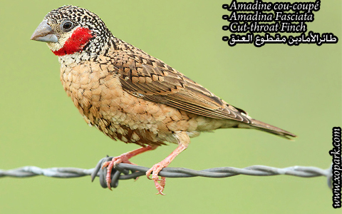 Amadine cou-coupé – Amadina Fasciata – Cut-throat Finch – xopark08