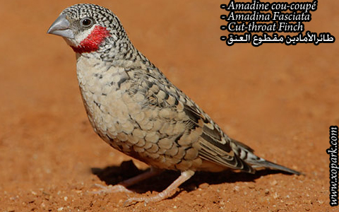 Amadine cou-coupé – Amadina Fasciata – Cut-throat Finch – xopark09