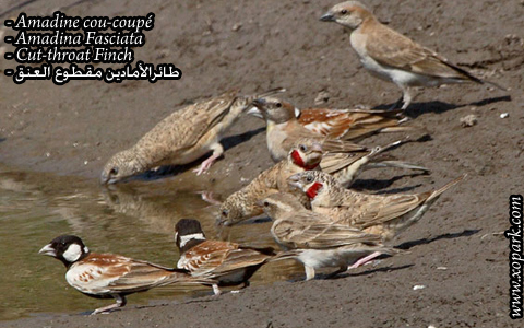 Amadine cou-coupé – Amadina Fasciata – Cut-throat Finch – xopark10