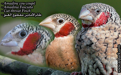 Amadine cou-coupé – Amadina Fasciata – Cut-throat Finch – xopark11