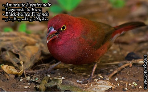 Amarante à ventre noir – Lagonosticta Rara – Black-bellied Firefinch – xopark01