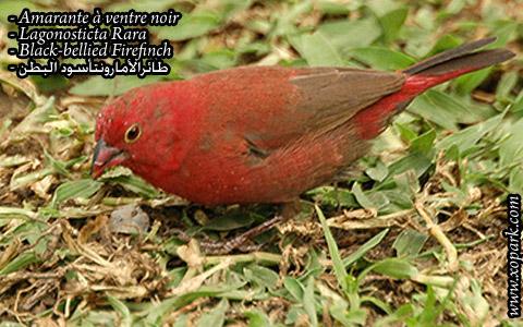 Amarante à ventre noir – Lagonosticta Rara – Black-bellied Firefinch – xopark02
