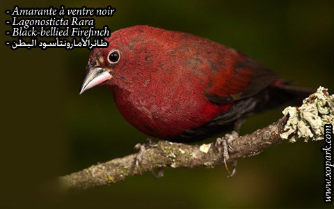 Amarante à ventre noir – Lagonosticta Rara – Black-bellied Firefinch – xopark03