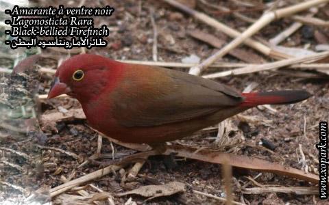 Amarante à ventre noir – Lagonosticta Rara – Black-bellied Firefinch – xopark06