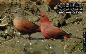 Amarante à ventre noir - Lagonosticta Rara - Black-bellied Firefinch