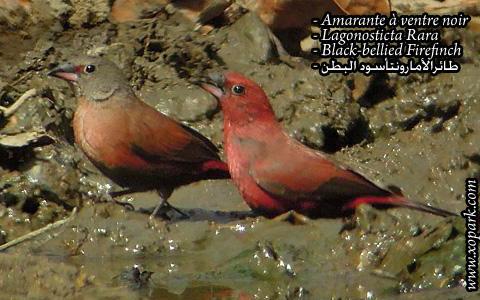 Amarante à ventre noir – Lagonosticta Rara – Black-bellied Firefinch – xopark07