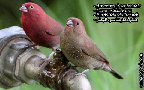 Amarante à ventre noir – Lagonosticta Rara – Black-bellied Firefinch – xopark08