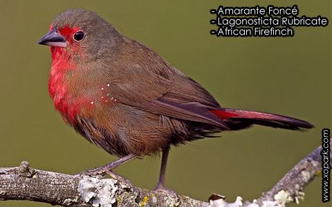 Amarante Foncé – Lagonosticta Rubricate – African Firefinch – xopark10