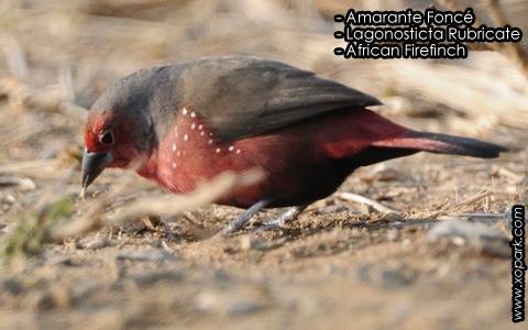 Amarante Foncé – Lagonosticta Rubricate – African Firefinch – xopark2