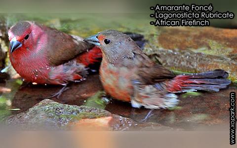 Amarante Foncé – Lagonosticta Rubricate – African Firefinch – xopark3