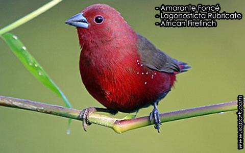 Amarante Foncé – Lagonosticta Rubricate – African Firefinch – xopark4