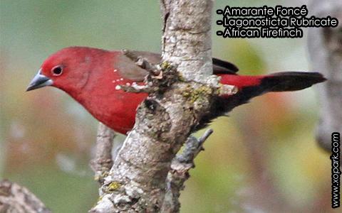 Amarante Foncé – Lagonosticta Rubricate – African Firefinch – xopark5