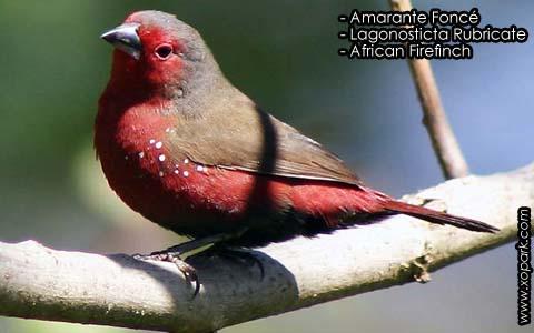 Amarante Foncé – Lagonosticta Rubricate – African Firefinch – xopark6