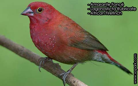 Amarante Foncé – Lagonosticta Rubricate – African Firefinch – xopark7