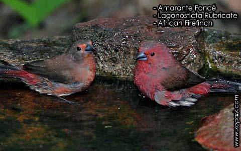 Amarante Foncé – Lagonosticta Rubricate – African Firefinch – xopark8