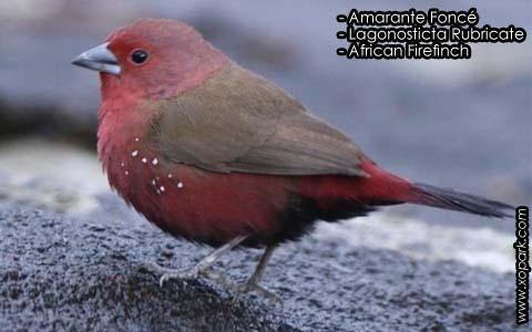 Amarante Foncé – Lagonosticta Rubricate – African Firefinch – xopark9